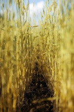 photo of furrow in wheat crop